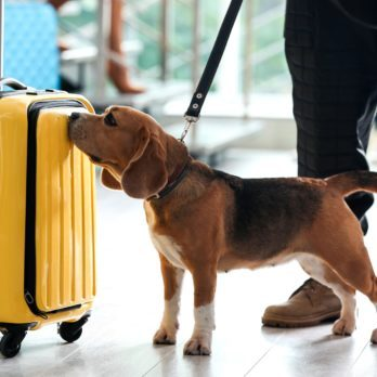 Here's Why You See So Many Beagles at the Airport
