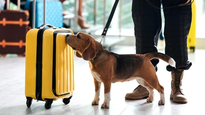 beagle dog inspects a yellow suitcase in an airport next to the legs of his handler holding leash