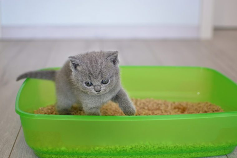 British blue kitten in green plastic toilet tray box with litter.
