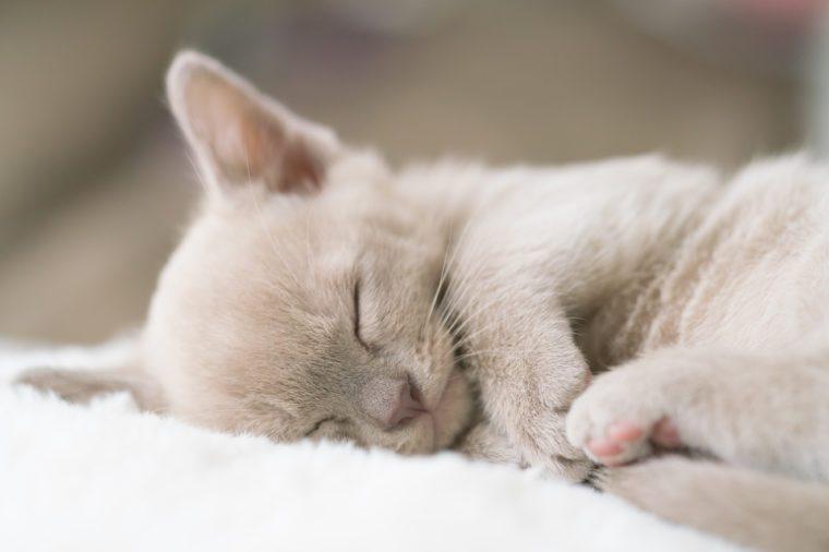 beige burmese kitten sleeps on a pillow