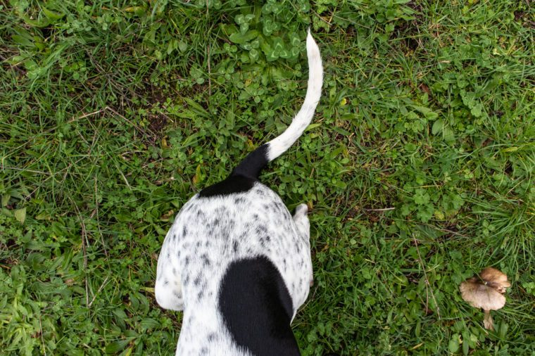a dog's tail viewed from above in a green meadow