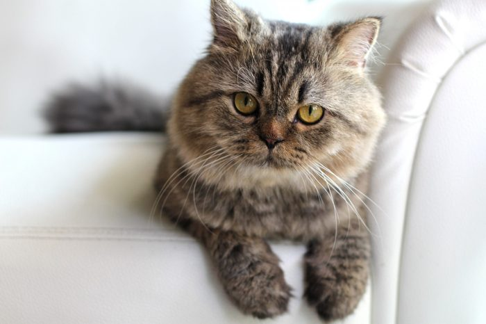 Persian cat on a white leather sofa.