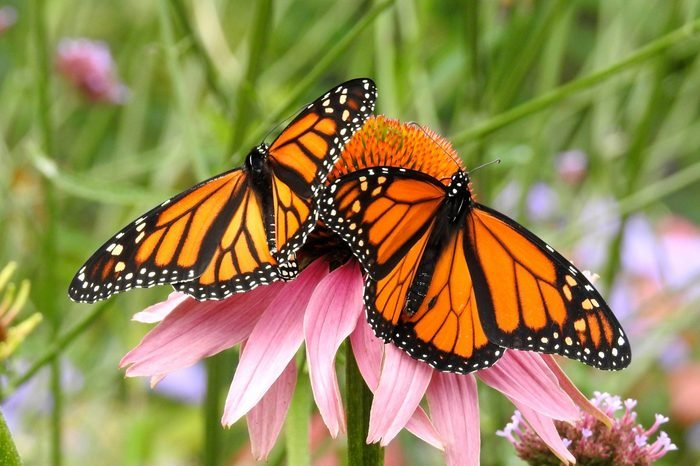 Two Monarch Butterflies with wings spread on a Pink Cone Flower