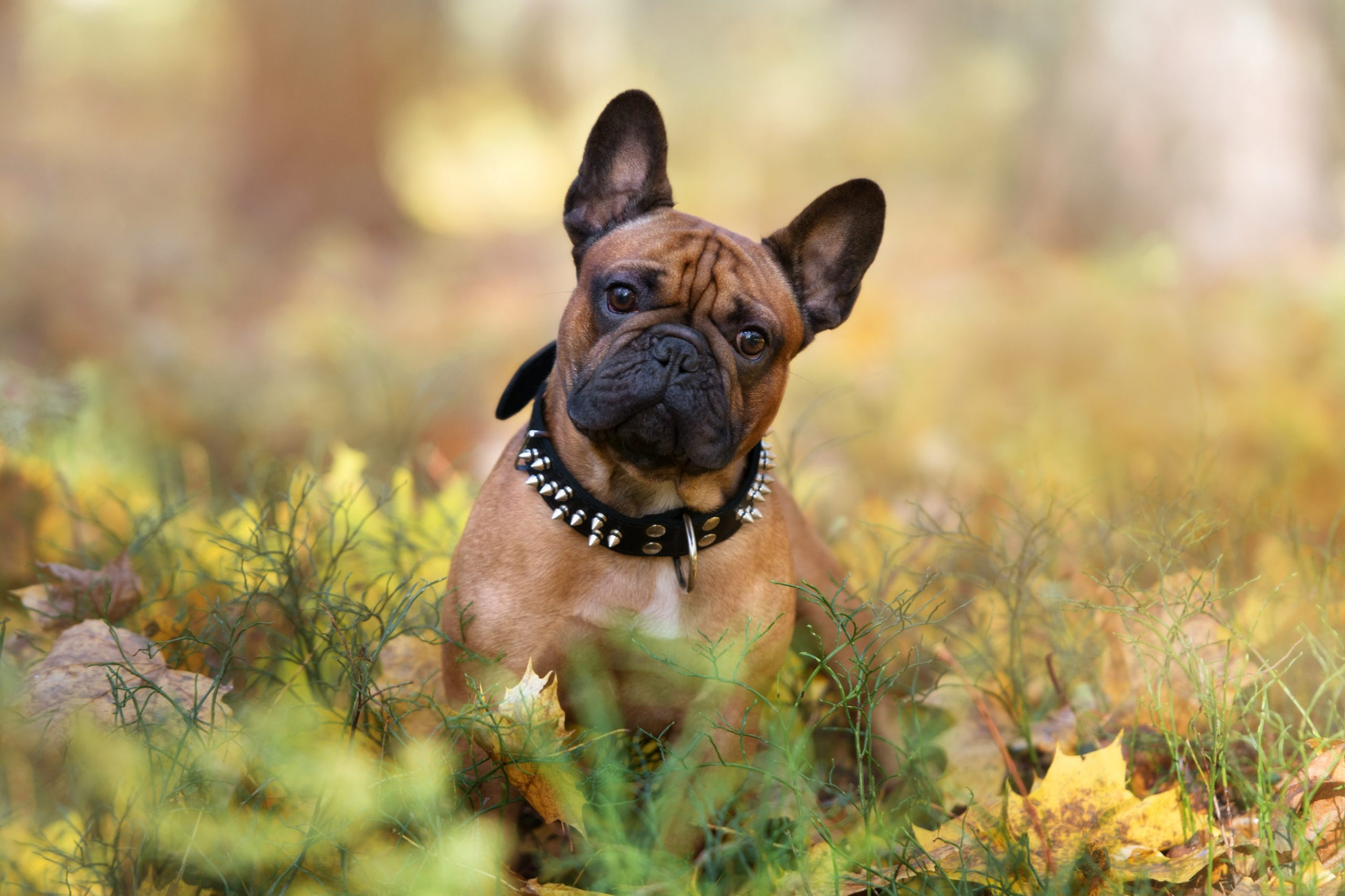 adorable french bulldog dog posing in an autumn forest
