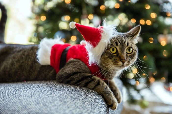 Adorable tabby cat in a Santa costume