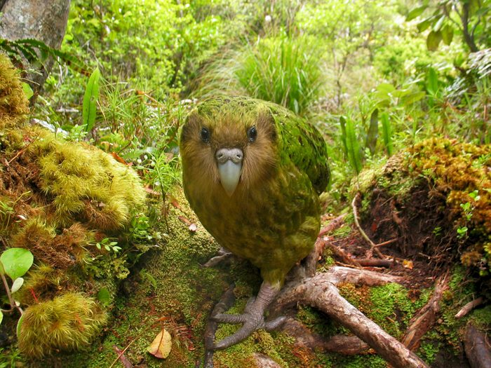 """Only to be used as part of a set - not an individual picture. Photographer must be credited or 'The World's Rarest Birds' mentioned. Mandatory Credit: Photo by Shane McInnes/Shutterstock (1275599c) A Kakapo flightless parrot taken by Shane McInnes in New Zealand Some of world's rarest birds captured on camera - 25 Jan 2011 These remarkable pictures reveal some of the world's rarest birds - which have only ever been photographed by a handful of people. The unique shots were captured by patient photographers who travelled to some of the remotest places on the planet and spent weeks behind the lens. They are all winning entries in an international competition to secure images of the 566 most threatened birds on Earth. They are to be featured in a new book, The World's Rarest Birds, which aims to highlight the plight of these endangered birds.""""These are all incredibly rare birds and capturing them on camera shows a huge commitment by each photographer,"""" said Andy Swash, a member of the World's Rarest Project team. """"You can't just go out into your back garden and get these shots. These birds live in really remote locations. """"Once you have got there you often have to spend hours waiting to see these and getting any image, let alone the one you want, could take weeks or months."""""""