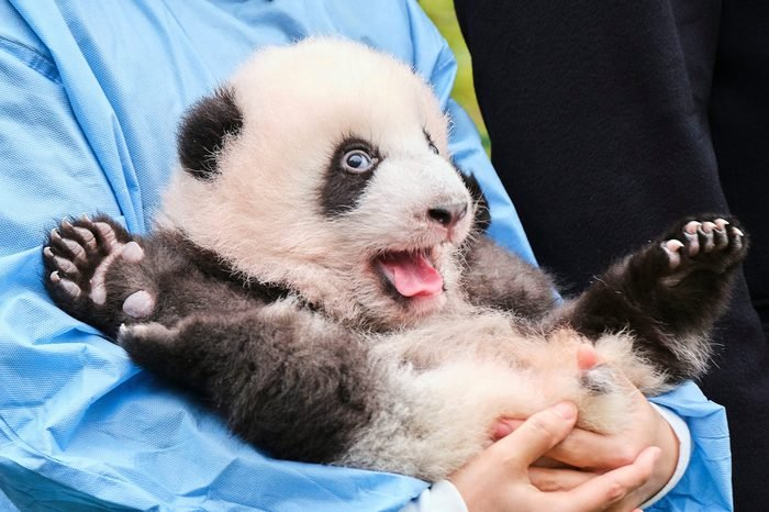 One of the panda twins 14 Nov 2019