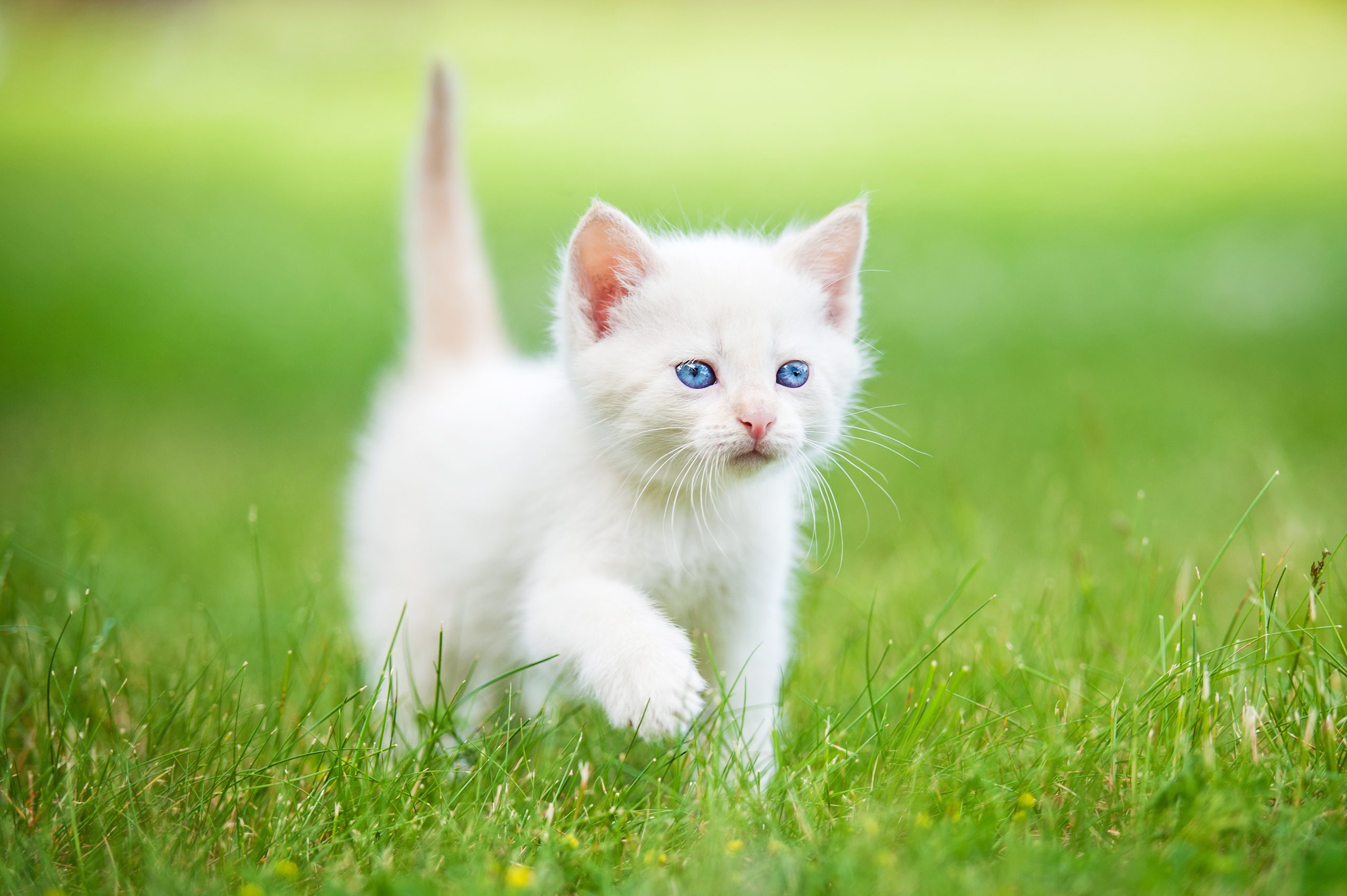 Adorable white kitten with blue eyes walking on the lawn