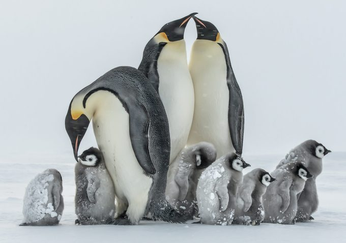 """Mandatory Credit: Photo by Gunter Riehle/Solent News/Shutterstock (5579535c) Penguin chicks and adults huddle together Emperor penguins brave a storm in the Antarctica - Jan 2016 *Full story: http://www.rexfeatures.com/nanolink/rwil Baby penguins as young as three months old look like they are frozen as they huddle up in a group to survive -24 degrees Celsius. The small colony of emperor penguins are covered in ice as they attempt to seek shelter from the storm by standing behind the adults. They shut their eyes in a bid to prevent the harsh weather conditions affecting their sight as they try and keep warm. Food engineer Gunther Riehle, 53, from Kirchheim unter Teck, Baden Wuerttemberg, Germany, braved the cold in Antarctica to capture the moment. He said: """"The penguins are huddling together to give them shelter and warmth, the adults do this too in Antarctic winter. """"Scientists measured the interior temperature of an adult huddle and found 37 degrees Celsius."""