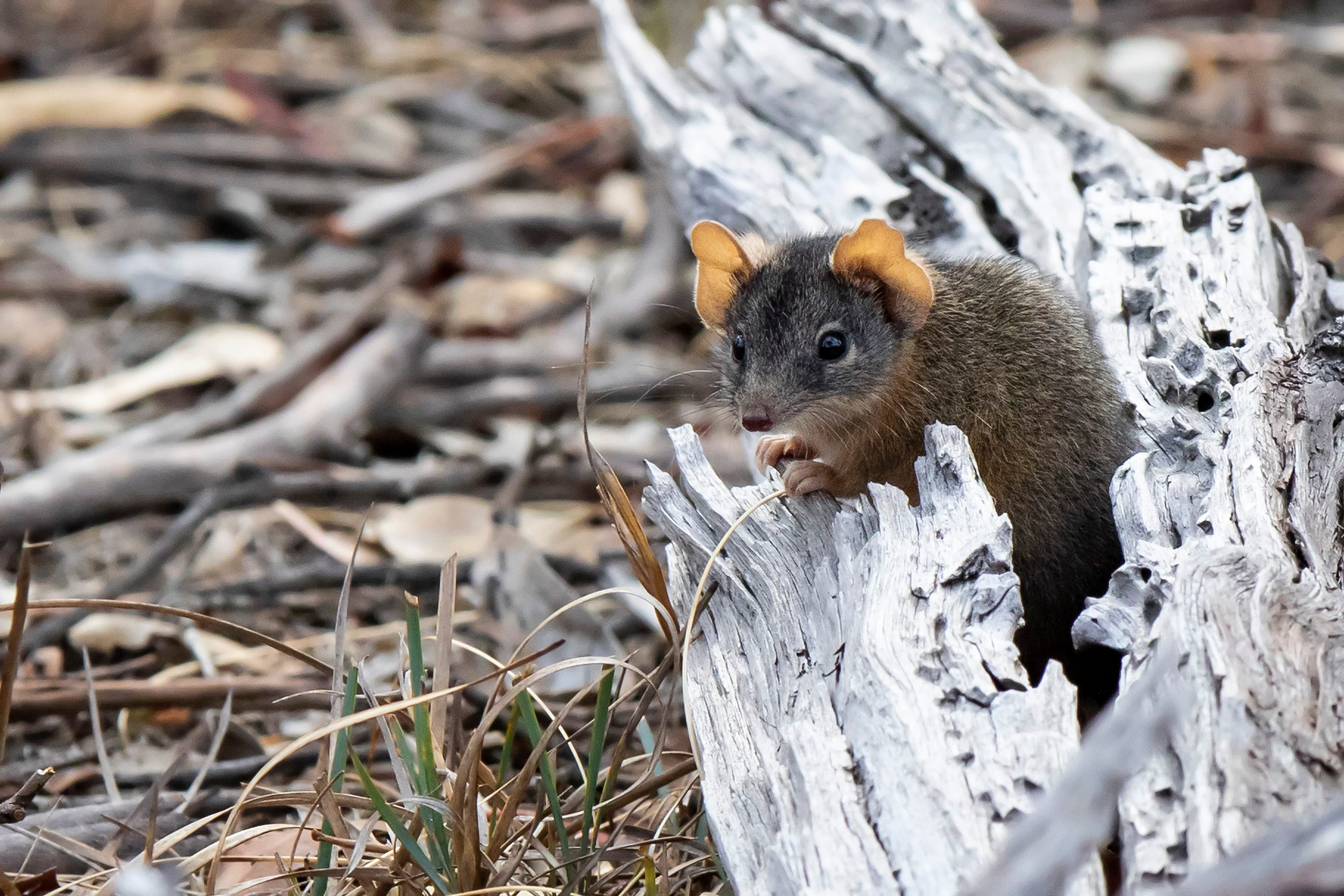 Yellow-footed Antechinus (Antechinus flavipes). Maldon, Victoria, Australia