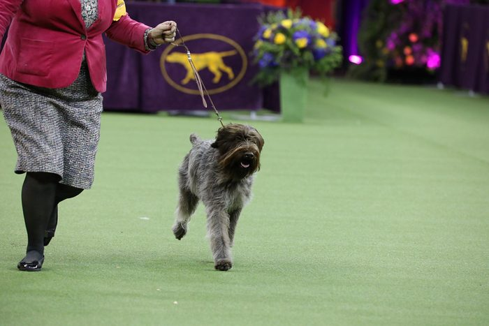 wire haired pointing griffon