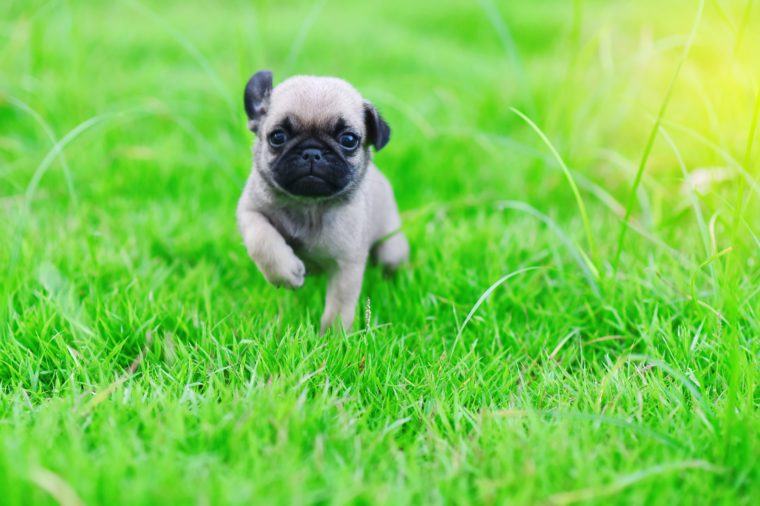 Cute puppy brown Pug with green grass