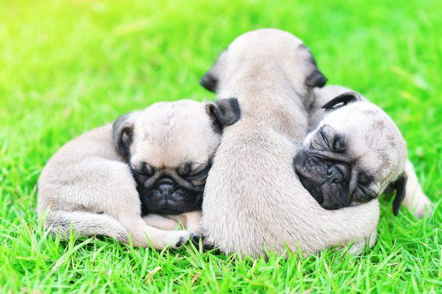 Cute puppies Pug sleeping together