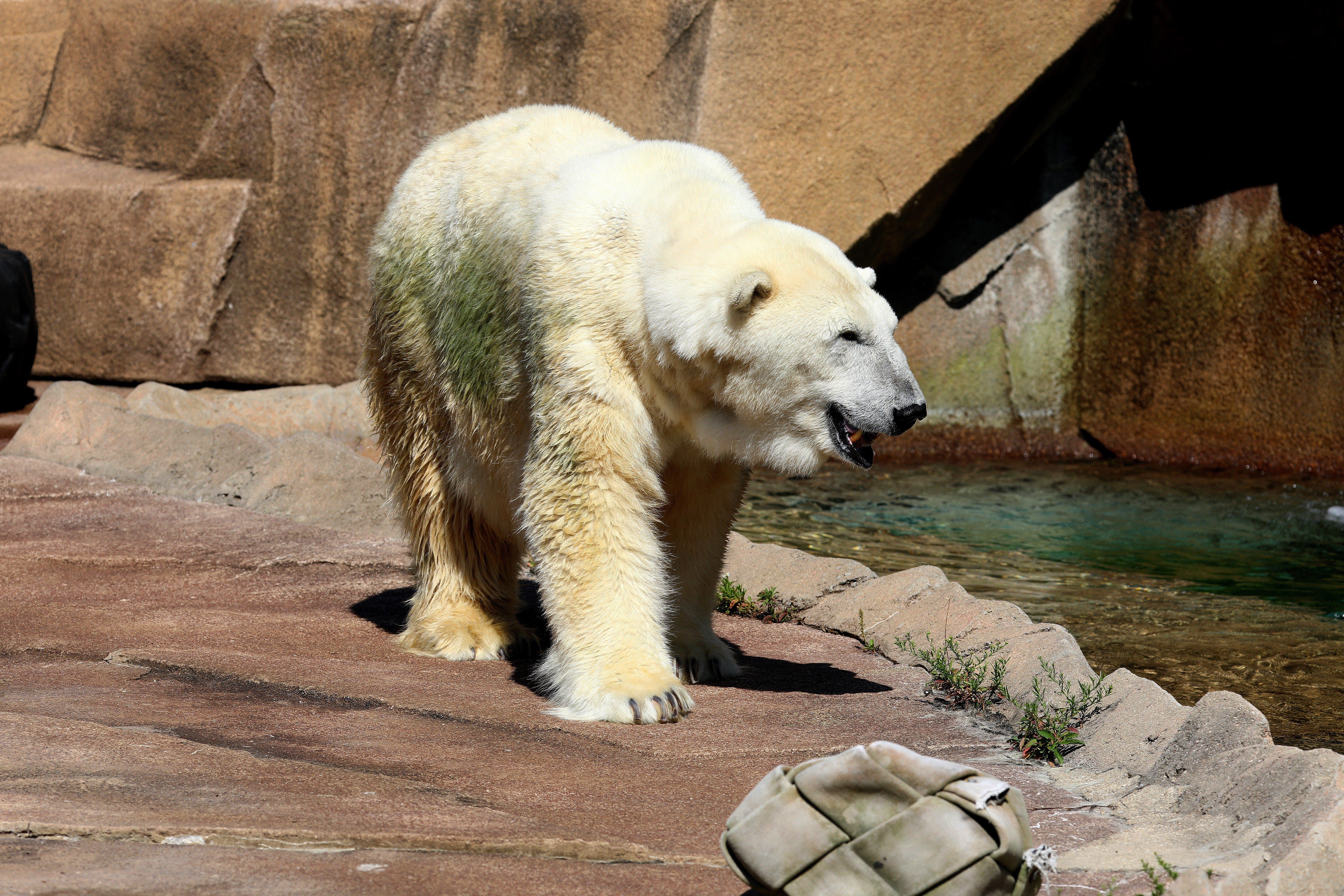 Polar Bear at the Milwaukee County Zo