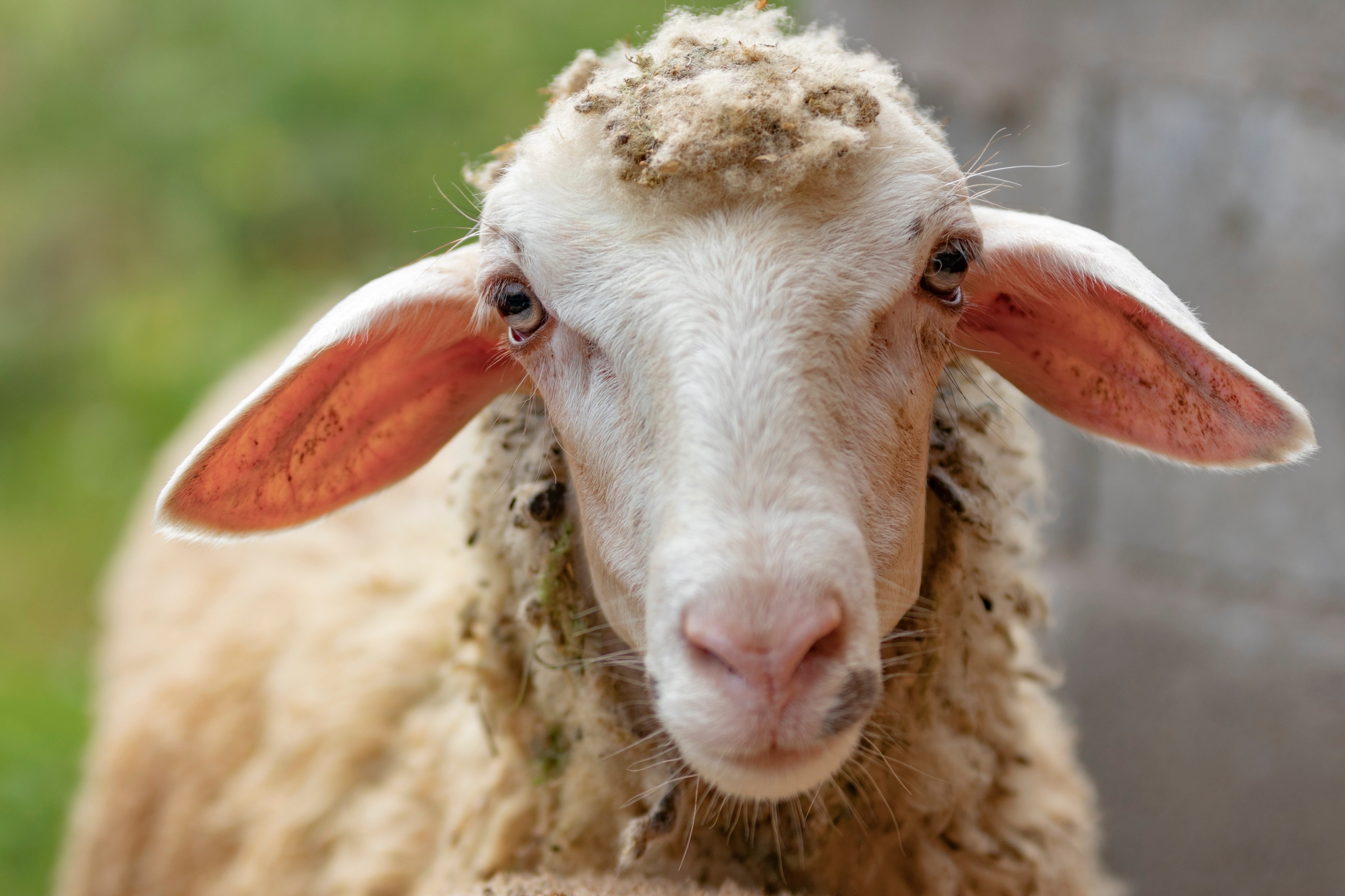 sheep animals that can predict weather