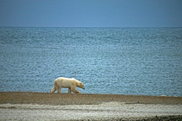 polar bear canada