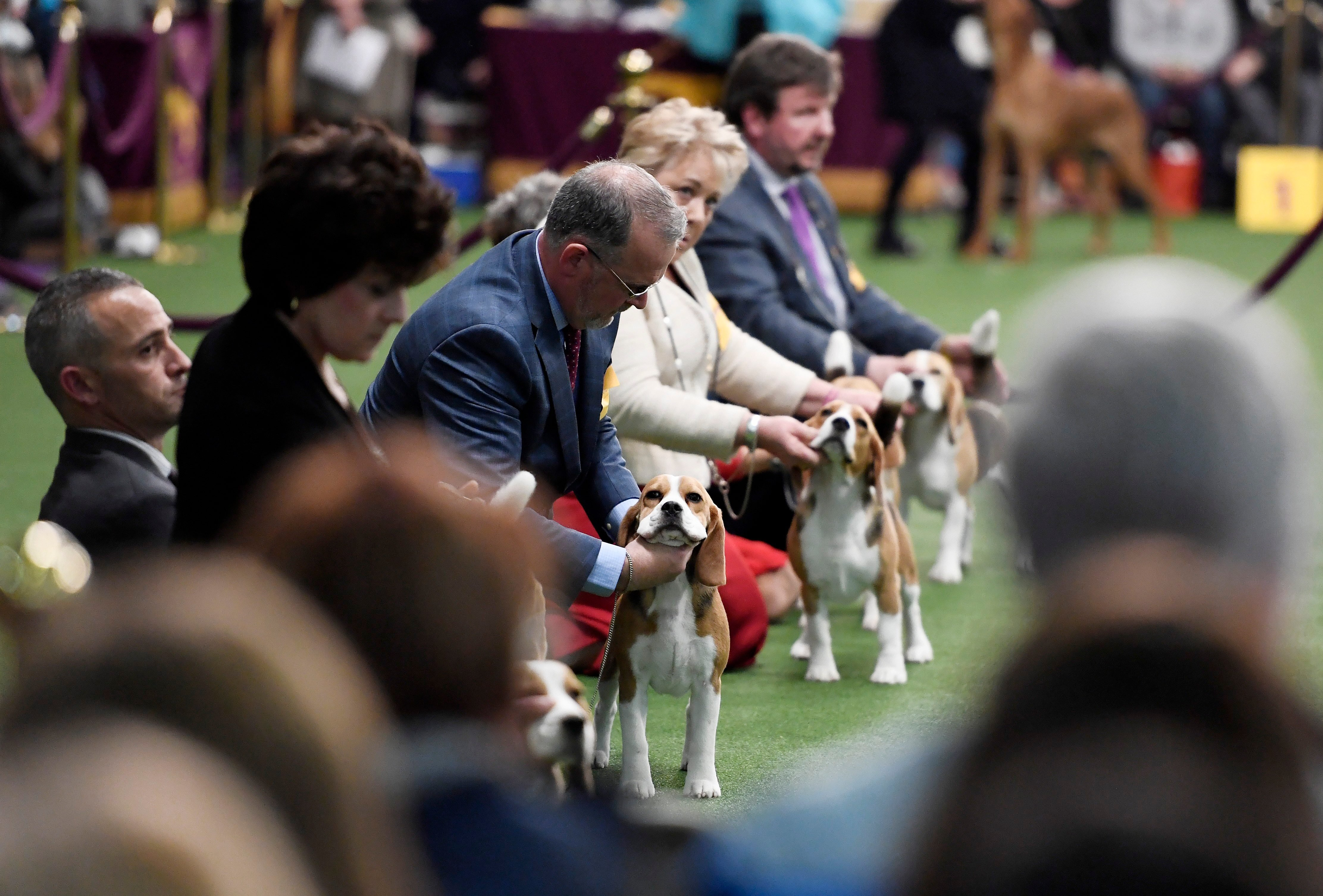 beagle westminster dog show