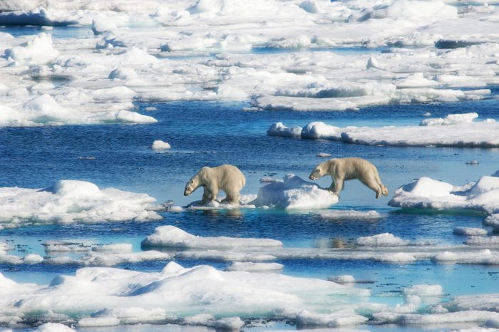 polar bears norway