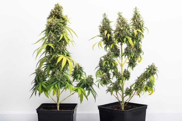 two potted cannabis plants in a home against a white wall
