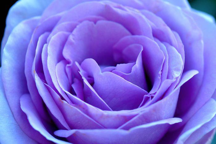 purple Rose closeup macro