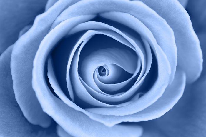 Vibrant fresh toned blue rose close up. Rose head macro photo background.