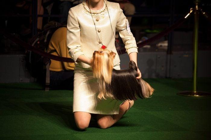 Yorkshire Terrier levitating westminster dog show