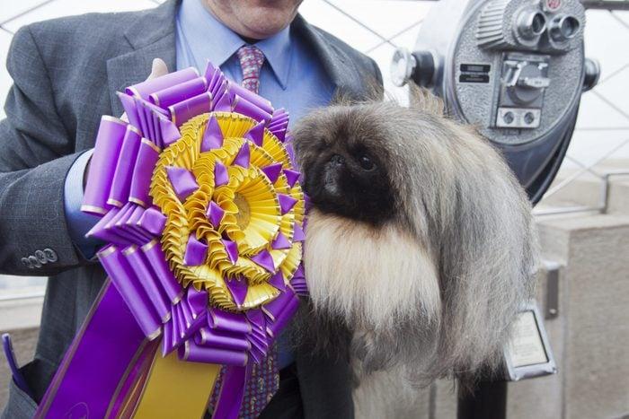 Pekingese westminster dog show winner
