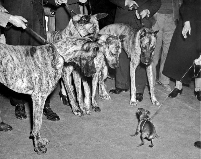 Miniature Pinscherand great danes westminster dog show