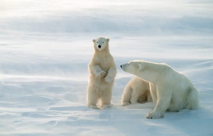 polar bears canada
