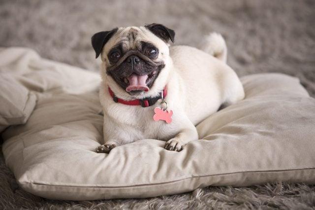 Cute Pug dog on pillow