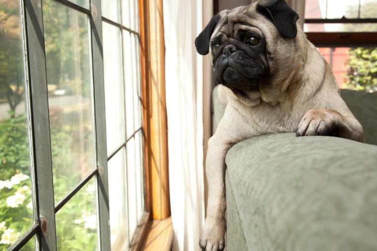 cute pug Dog sits on couch and looks longingly outside