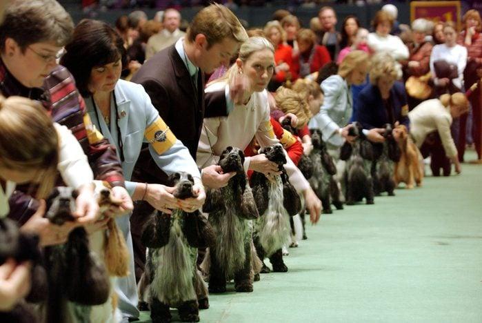 american cocker spaniel westminster dog show