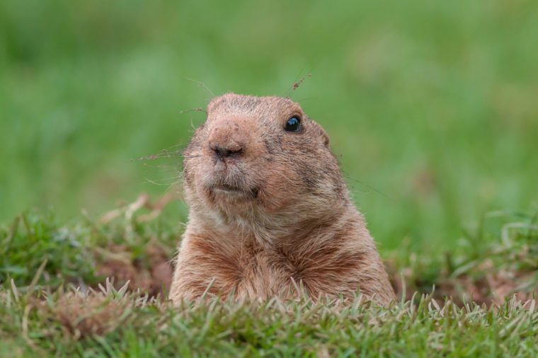 Groundhog animals that can predict weather