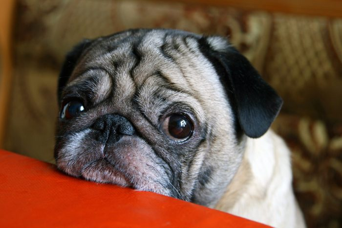 pug with sad eyes sitting at the table