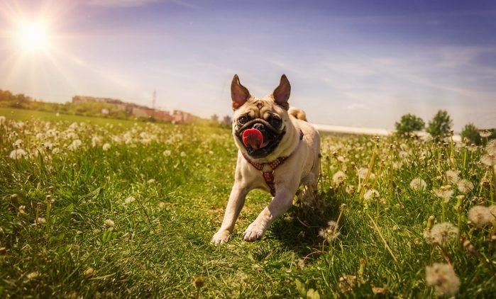 Pug running into the spring field.
