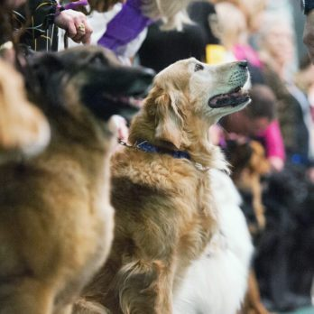 Meet the Newest Dog Breeds at the Westminster Dog Show