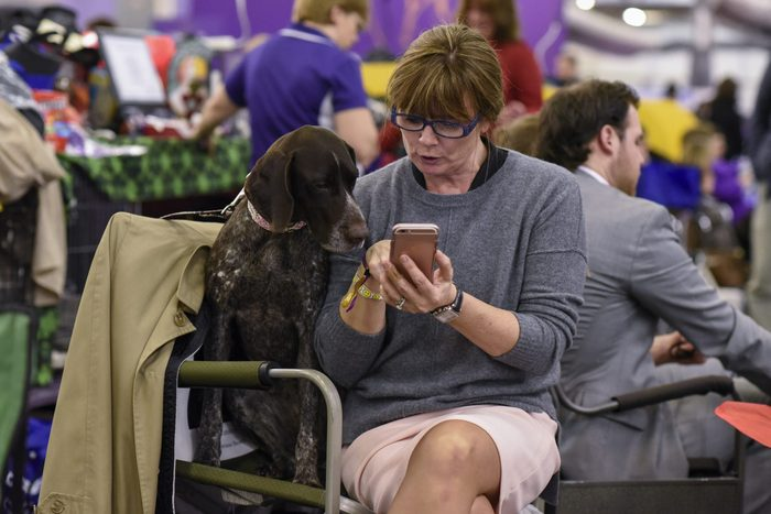 german pointer looking at iphone with owner westminster dog show