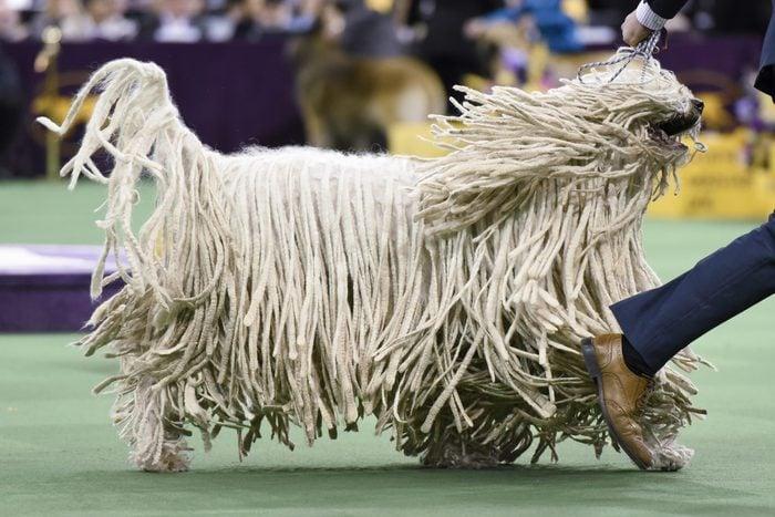 komondor mop dog westminster dog show