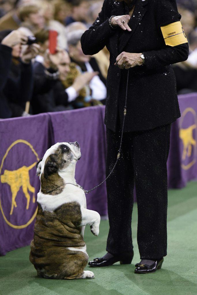 bulldog sitting westminster dog show