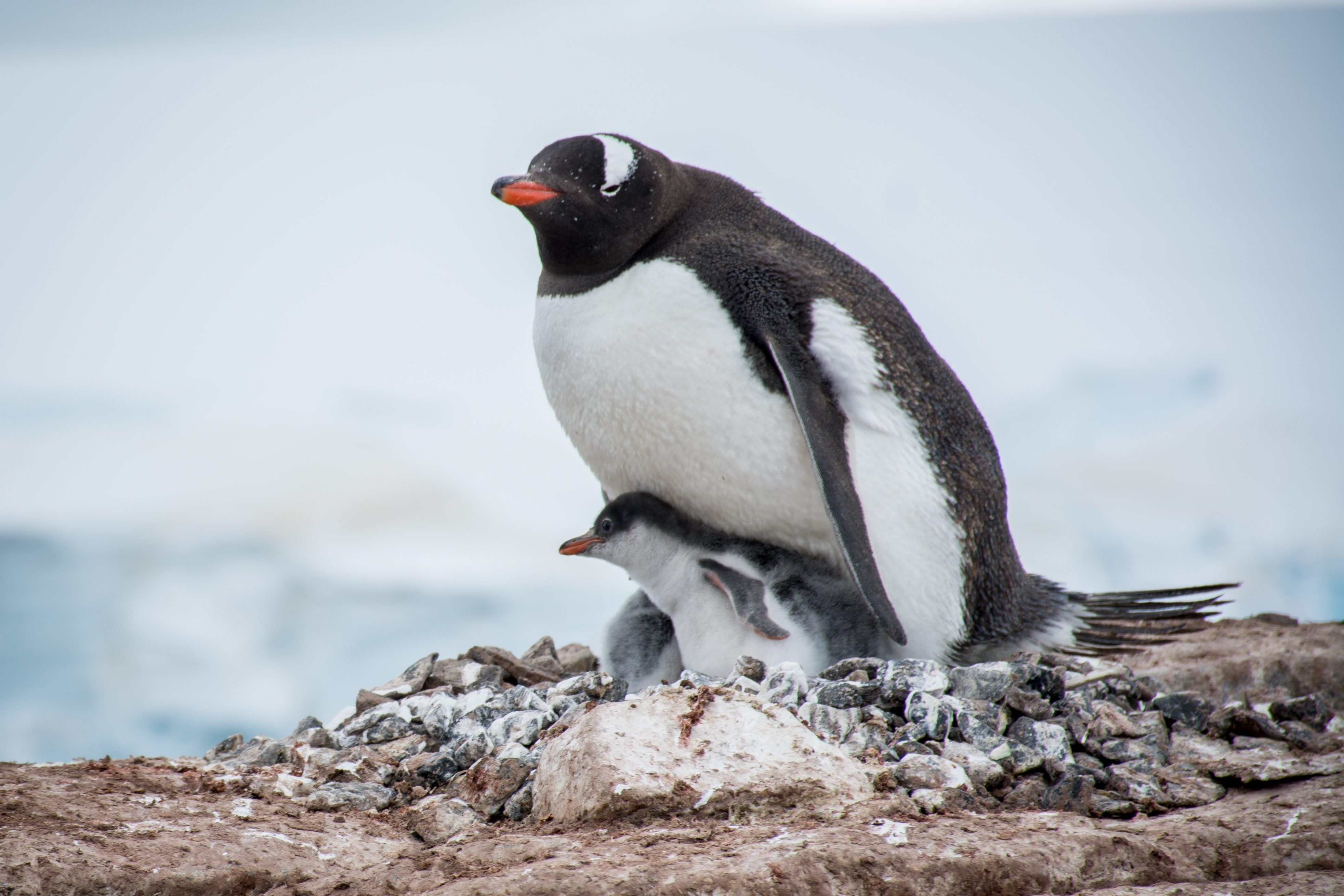 adelie penguin mom and baby