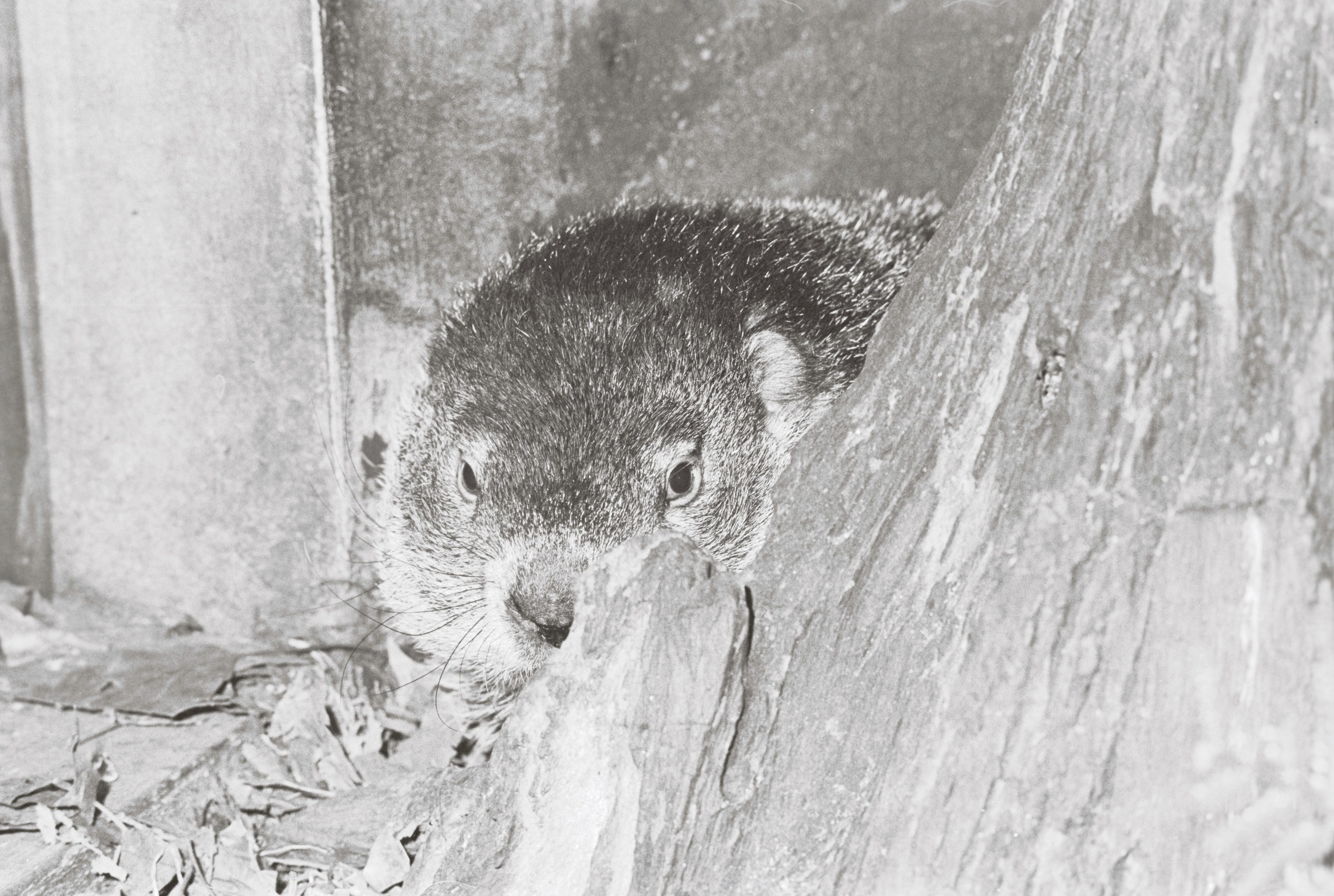 Punxsutawney Phil groundhog's day