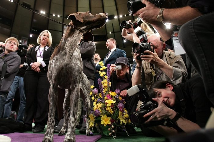 funny German Shorthaired Pointer photographed westminster dog show
