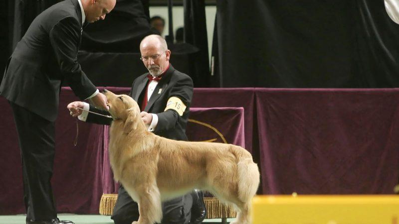 golden retriever westminster dog show