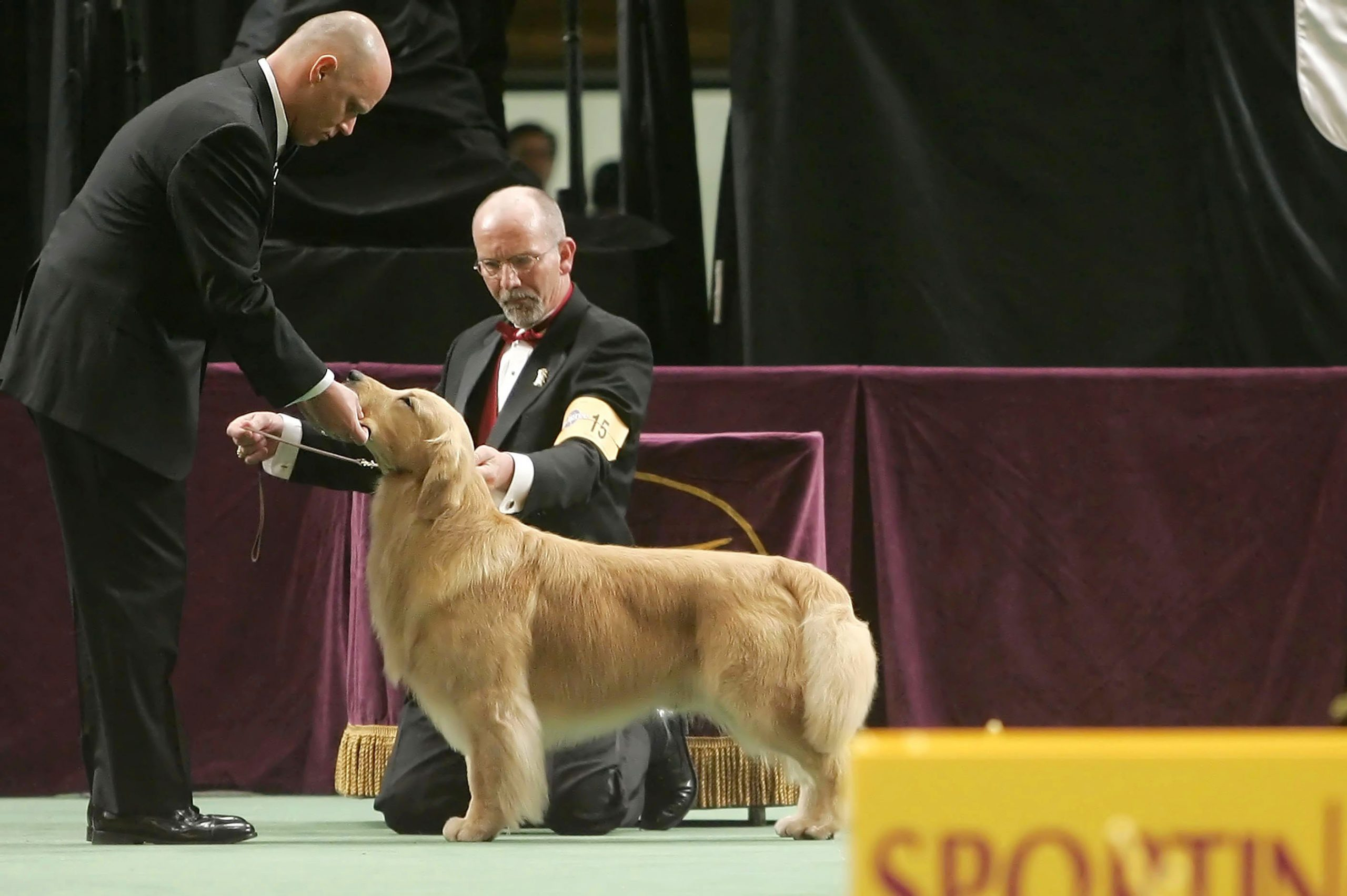 golden retriever westminster dog show