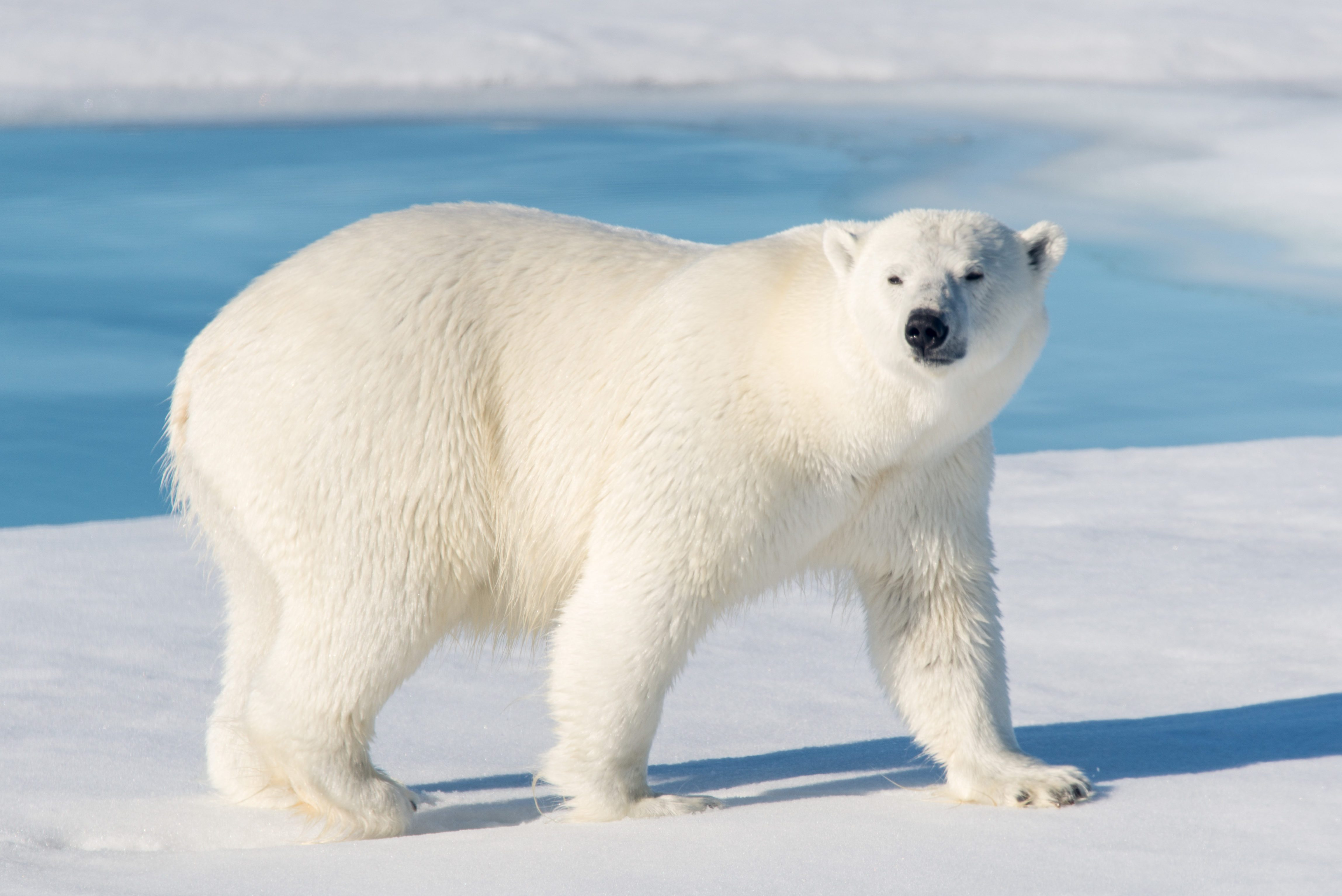 plar bear
