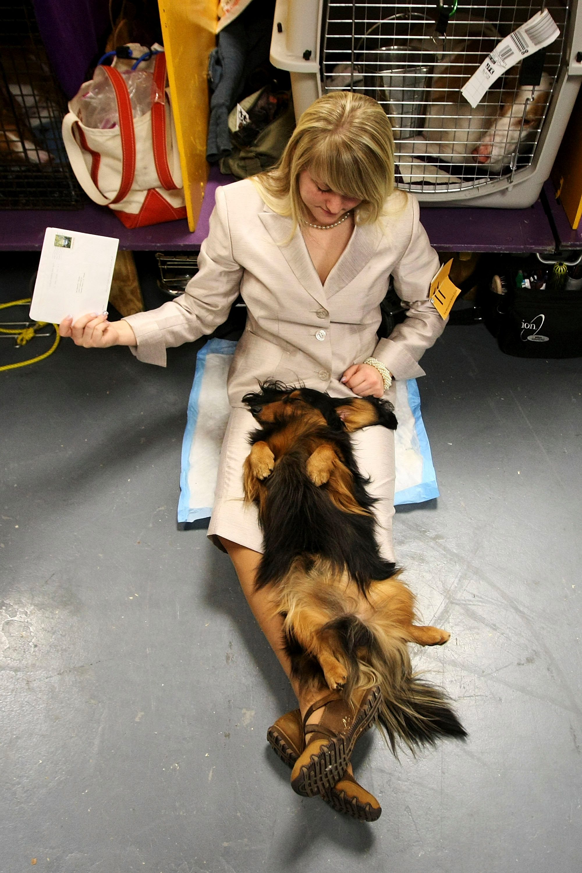 Long Haired Dachshund lounging westminster dog show