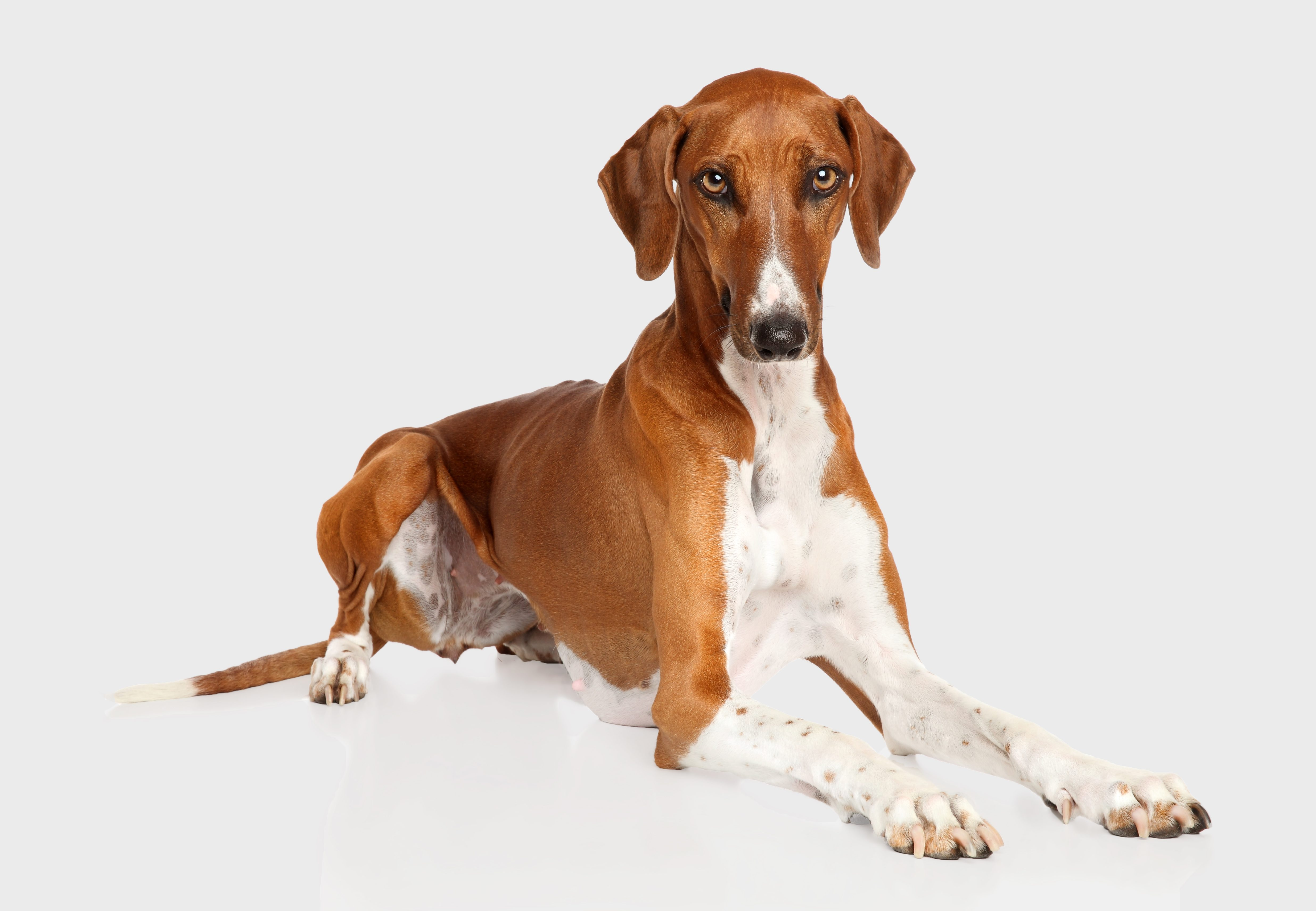 Azawakh dog breed