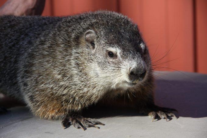 buckeye chuck groundhog