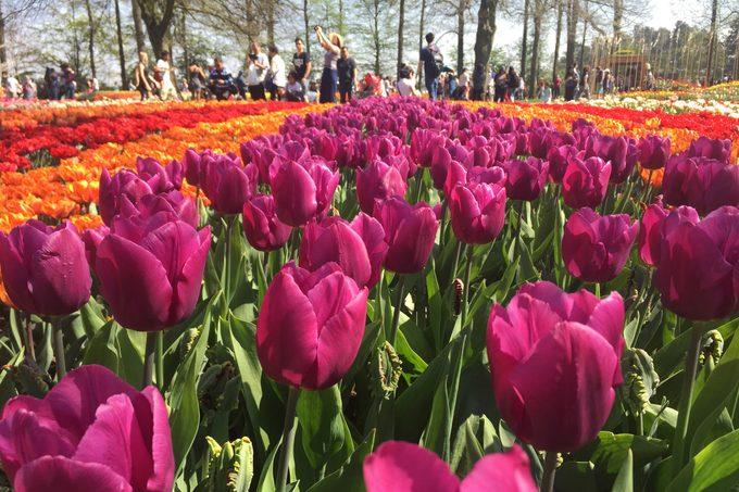 tulip festival. close up of tulips.