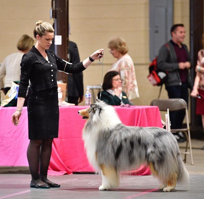 collie show time dog show